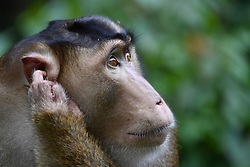A short tailed macaque is pictured near the Gomantong caves, on August 5, 2019 near Sandakan city, State of Sabah, North of Borneo Island, Malaysia. Palm oil plantations are cutting down primary and secondary forests vital as habitat for wildlife including the critically short tailed macaques. Photo by Emy/ABACAPRESS.COM
