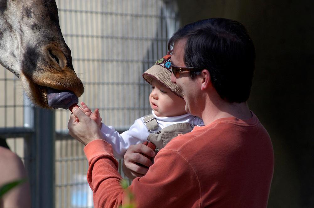 Feeding the Giraffes, San Diego Zoo, San Diego, California, United States of America