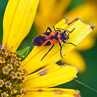 Close-up of a small milkweed bug (Lygaeus kalmii) covered in rain drops on an aged ox-eye (Heliopsis helianthoides), Big Meadows, Shenandoah National Park, Virginia.