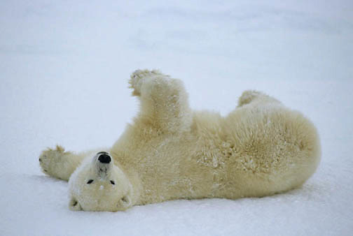 Polar Bear, (Ursus maritimus) Sub adult rolling in snow. Churchill, Manitoba. Canada.