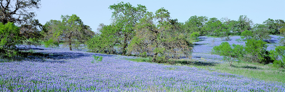 Texas bluebonnets and oak-covered hills cover the earth near Llano, Texas.