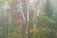 Foggy morning light during peak Autumn color in Groton State Forest, Vermont