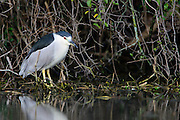 Black-crowned Night-Heron (Nycticorax nycticorax), Dallas, Texas