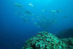 A school of Bigeye trevally (Caranx sexfasciatus) at the Rowley Shoals.