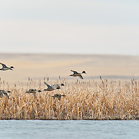 nothern pintail duck courtship flight, wetlands background, eye level