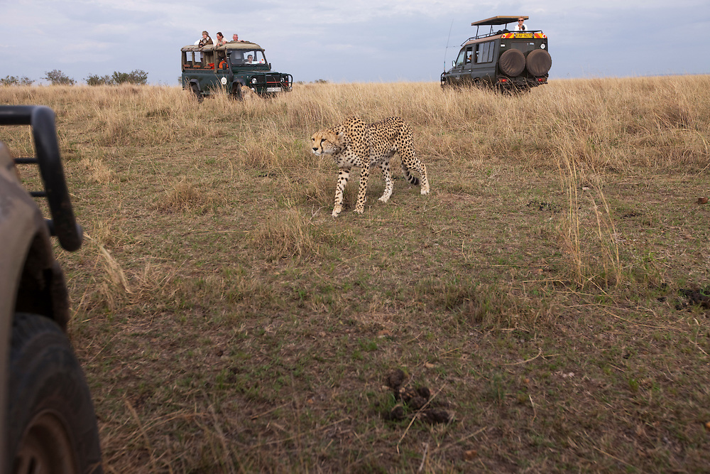 Africa, Kenya, Masai Mara Game Reserve, Cheetah (Acinonyx jubatas) walking through safari trucks while walking on savanna