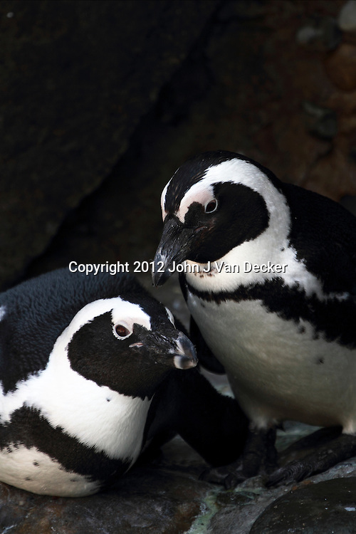 A pair of African Penguins, Spheniscus demersus, also called the Black-footed Penguin or the Jackass Penguin. Turtleback Zoo, West Orange, New Jersey.