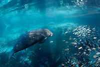 A manatee swims over the warm Big Sister spring at Three Sisters Springs. Mangrove snapper (Lutjanus griseus) also seek warmth and minerals from Florida's underwater aquifer bubbling up. The round marks on the manatee's back are from barnacles shed earlier in the season. The big spring is rimmed with manatees, resting and socializing. Florida manatees come to Three Sisters Springs during the cooler months to rest and stay warm. Taken in the Crystal River National Wildlife Refuge, Kings Bay, Crystal River, Citrus County, Florida USA. Florida manatee, Trichechus manatus latirostris, a subspecies of the West Indian manatee