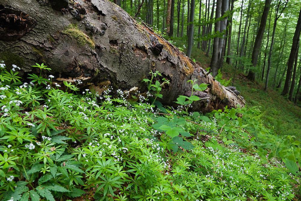 Beech Forest, Fagus sylvatica, Stuzica primeval Forest, Unesco World Heritage Site, Poloniny Nationalpark, Western Carpathians, Slovakia, Europe, Buchen-Urwald Stuzica, Poloniny Nationalpark, Slowakei