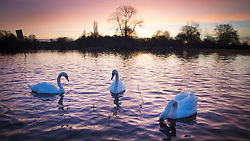 DATE CORRECTION. © Licensed to London News Pictures. 29/02/2016. Reigate, UK. Swans glide across the water at Earlswood Lakes at sunrise.  Photo credit: Peter Macdiarmid/LNP