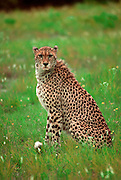 Cheetah sits in open field staring at camera.