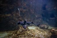 Aquarium de Lyon: Requin dormeur, dit Taureau, dit de Port Jackson.<br /> Port Jackson Shark
