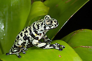 Tiger Tree Frog (Hyloscirtus sp cf tigrinus)<br /> CAPTIVE<br /> ECUADOR. South America<br /> RANGE: Ecuador<br /> Critically Endangered<br /> New undescribed species