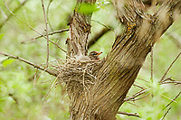 An American Robin sits on its nest in an oak tree along a river in northern Utah.