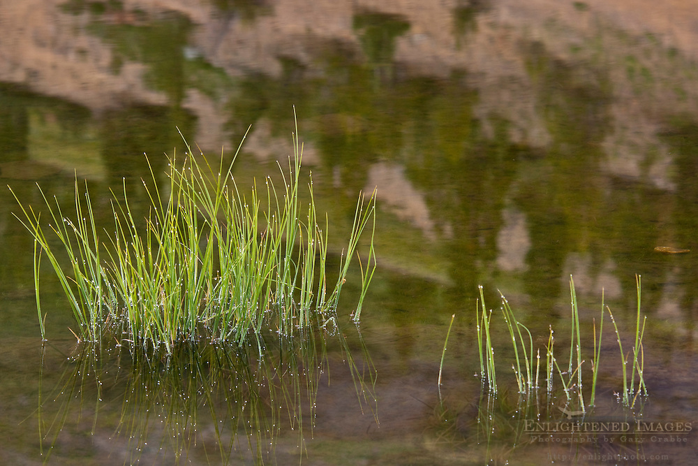 Grass in Highland Lakes, Stanislaus National Forest. Alpine County, California