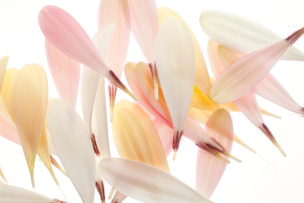 Pastel colored Gerbera Daisy Petal composition