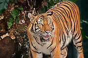 Found only in south Thailand and peninsular Malaysia, and only recently discovered to be a distinct subspecies.  As are all tigers, the Malayan Tiger is endangered, with an estimated 600-800 individuals in the wild, the majority of them outside of National Parks.