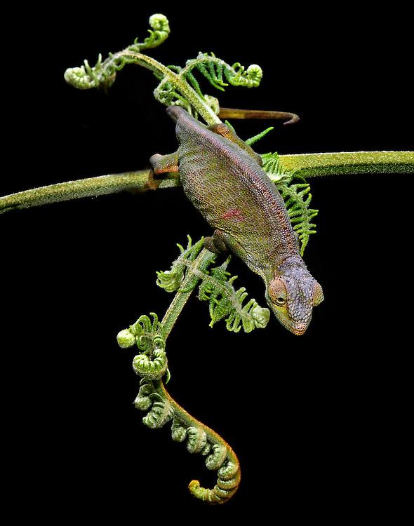 Ituri Chameleon(Chameleon adolfifriderici)