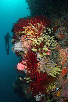 Reef Wall with colorful feather stars, diver...Shot in Indonesia