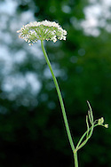 CORKY-FRUITED WATER-DROPWORT Oenanthe pimpinelloides (Apiaceae) Height to 1m. Upright, hairless perennial with solid, ridged stems. Favours damp, grass places, often coastal and particularly on clay soils. FLOWERS are white and borne in terminal, flat-topped umbels, 2-6cm across, with 6-15 rays (May-Aug). FRUITS are cylindrical, with swollen, corky bases. LEAVES are 1- or 2-pinnate with narrow-oval to wedge-shaped leaflets. STATUS-Scarce and local, in S England only.