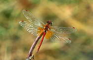 Yellow-winged Darter - Sympetrum flaveolum