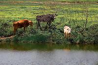 Cows along river bank outside Venice, LA.  Copyright 2011 Reid McNally.