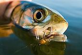 Ladyfish Stock Photos