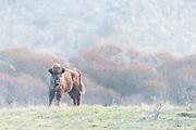 Juvenile European Bison (Bison bonasus) standing in dune landscape
