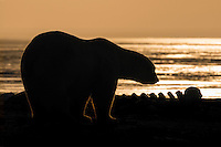 A polar bear pauses in front of the remains of a whale, Arctic National Wildlife Refuge, Alaska, USA.