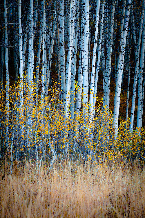 Young aspens hold onto their color. Kebler Pass ear Crested Butte, Colorado.