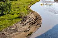 Commercial sheep flock along the Powder River neaqr Broadus, Montana, USA