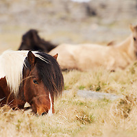 Ponies at the moors of Dartmoor national park