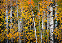 an explosion of color unfurls across an aspen forest in Wyoming