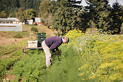 Josh Volk harvest fennel grown for the NOVIC field trials.