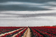 Person in a field of tulips - manipulated photograph<br />