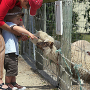 Lamb feeding at the The Hawke's Bay Farmyard Zoo. The zoo provides  educational opportunities with animal feeding for children and a safe, clean spacious environment with many different varieties of farmyard animals. Hawke's Bay Farmyard Zoo, East Road. Haumoana, Hastings. Hawkes Bay, New Zealand. 12th January 2011. Photo Tim Clayton..