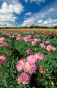 Dahlia flowers in a field at Swan Island Dahlias, Canby, Oregon
