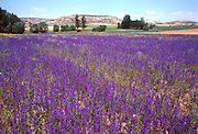 SPAIN, CASTILE-LEON wildflowers near Soria