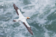 Australasian Gannets are expert fishers. Birds soar 10 m or more above the surface of the water, herding fish into dense shoals, then fold their wings back and dive into the water to catch their prey. The fish are grasped with the aid of small backward-pointing serrations along the edges of the bill. A bird only stays under the water for about ten seconds, but the fish is normally swallowed before the bird reaches the surface.  Here, an Australian Gannet soars above the ocean at Muriwai, New Zealand.
