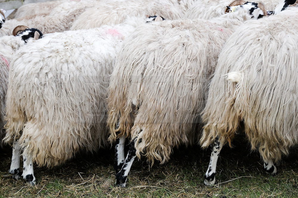 © Licensed to London News Pictures.14/07/15<br /> Harrogate, UK. <br /> <br /> Sheep are penned in on the opening day of the Great Yorkshire Show.  <br /> <br /> England's premier agricultural show opened it's gates today for the start of three days of showcasing the best in British farming and the countryside.<br /> <br /> The event, which attracts over 130,000 visitors each year displays the cream of the country's livestock and offers numerous displays and events giving the chance for visitors to see many different countryside activities.<br /> <br /> Photo credit : Ian Forsyth/LNP