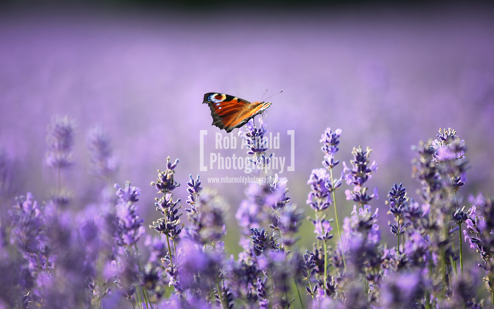 © Rob Arnold. Hampshire, UK. A Peacock butterfly on Lavender flowers in bloom on Summerdown farm estate near Malshanger in Hampshire. The lavender will be harvested and distilled into lavender oil that is a popular aromatherapy oil. The oil can be purchased from Summerdown Farms Ltd - www.summerdownmint.com Photo credit : Rob Arnold