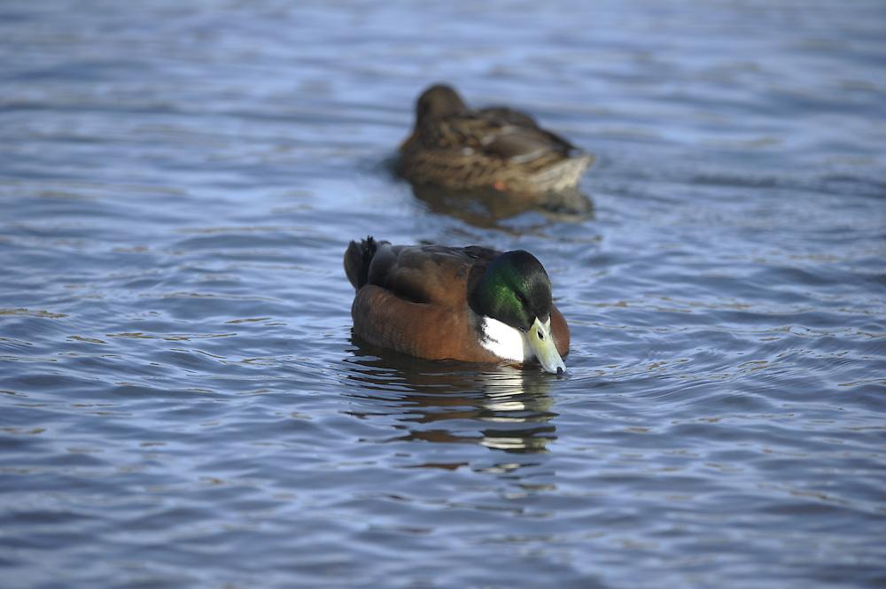 A hybrid mallard/wigeon swims along the Deschutes River.