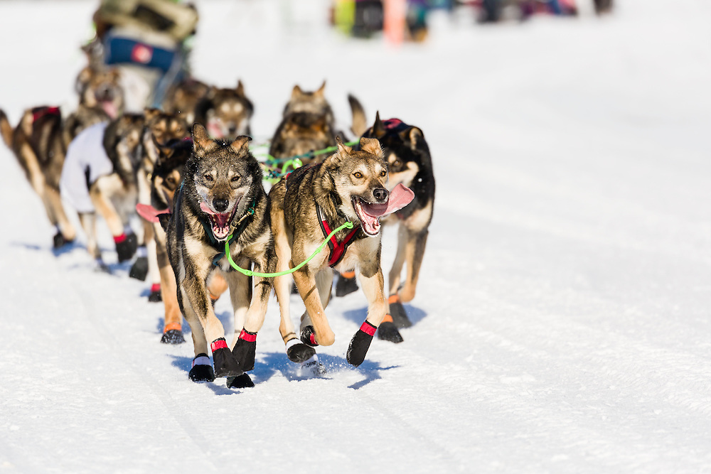 Musher Nicolas Petit's dogs competing in the 44th Iditarod Trail Sled Dog Race on Long Lake after leaving the restart on Willow Lake in Southcentral Alaska.  Afternoon. Winter.