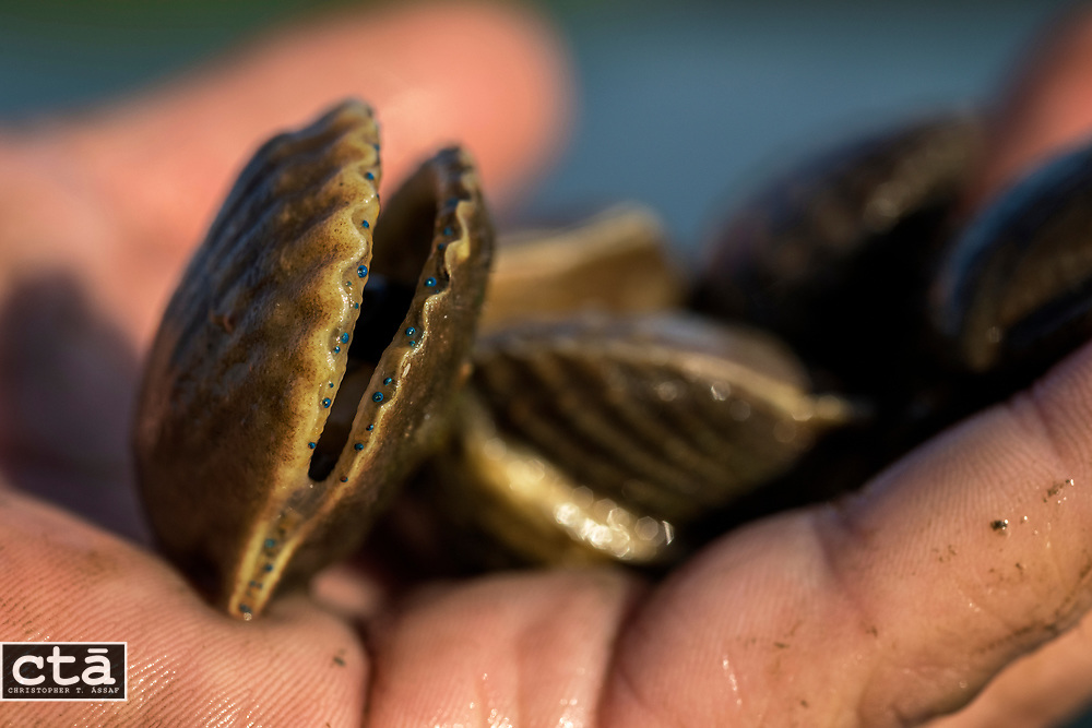A handful of scallops scooped from a bag pulled from the waters off Wallops Island, Va. The eyes are the spots of blue on the edge of the shell. <br />