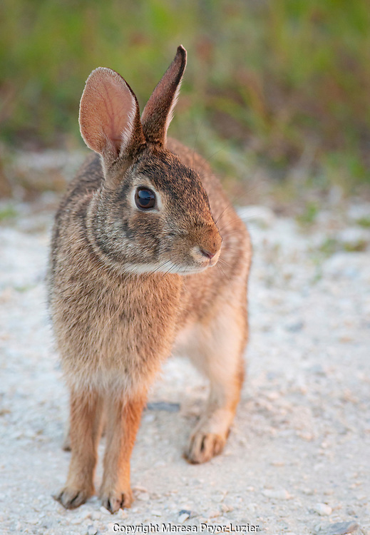 Eastern cottontail, Sylvilagus floridanus, Kissimmee Preserve State Park, Florida