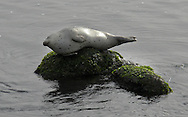 A harbor seal relaxes on a rock in Monterey, California, on Sunday, January 11, 2010. (© 2010, Cindi Christie)