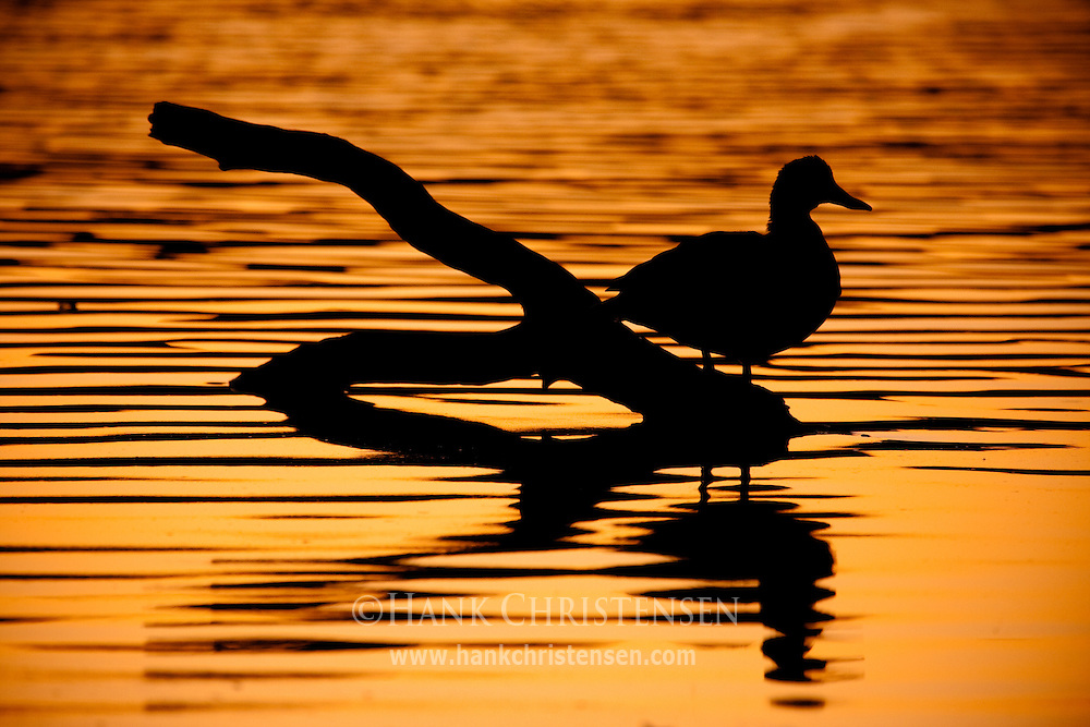 A duck perched on a log is silhouetted against a reflected sunset