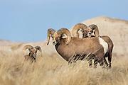 Rocky mountain bighorn sheep Bighorn ram in South Dakota badlands