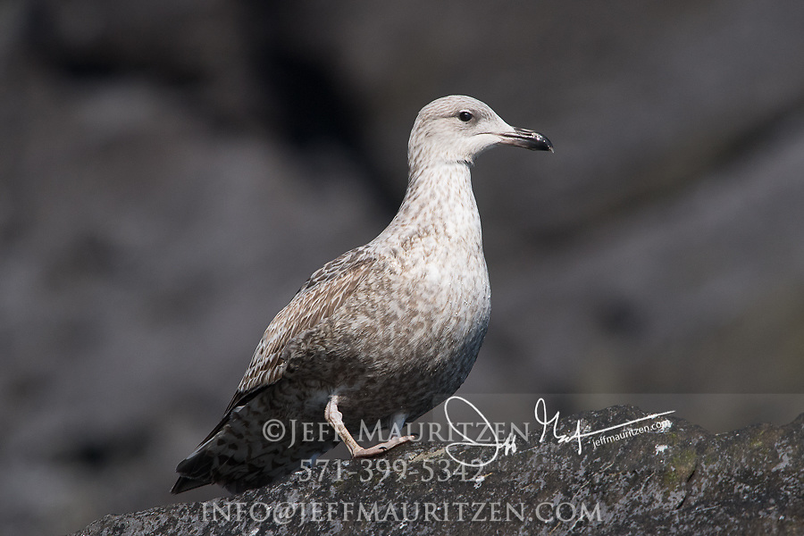 A juvenile Herring gull on Little Skellig island, County Kerry, Ireland.