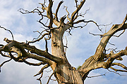 Dead Elm tree in Sherbourne, Gloucestershire, United Kingdom